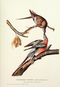 passenger_pigeon_Audubon