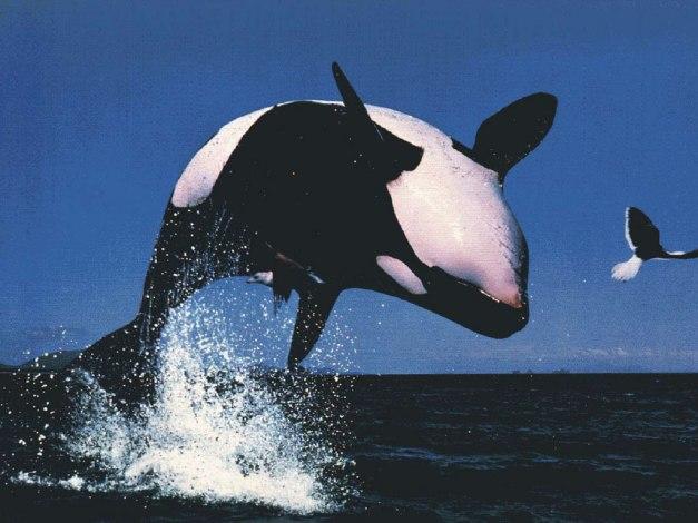 Erotic Orca