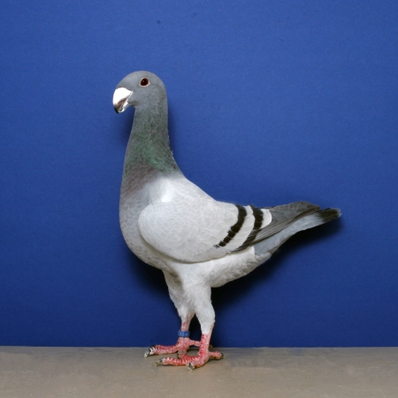 the bothersome beauty of pigeons
